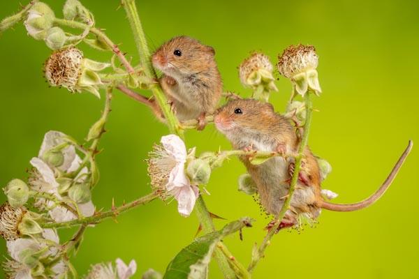 Nature_Chris_Gledhill_Harvest-mice-on-blackberry-bush_UK