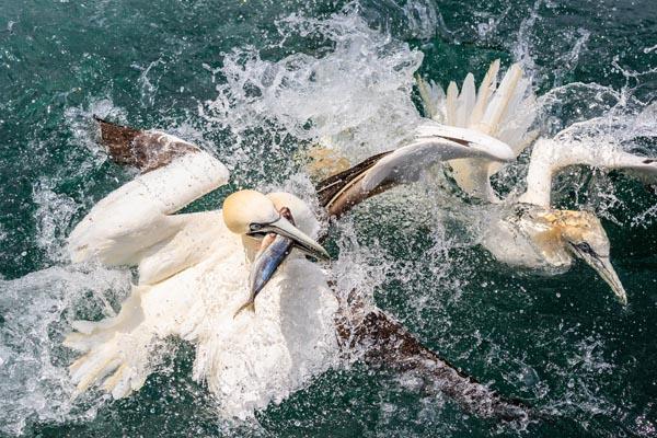 Nature_Stephen_R_Womack_Gannets-Feeding-Frenzy_United-Kingdom
