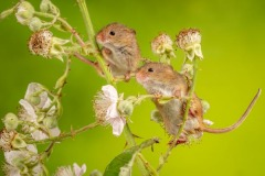 Nature_Chris_Gledhill_Harvest-mice-on-blackberry-bush_UK